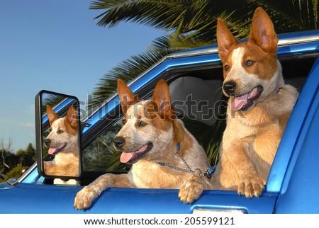 Australian Cattle Dogs - Red Heeler Pups in Car Window - stock photo