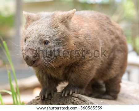 Australian common wombat stands on a log - stock photo