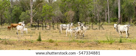 Australian Country Scene, panorama landscape with cows and calves and trees