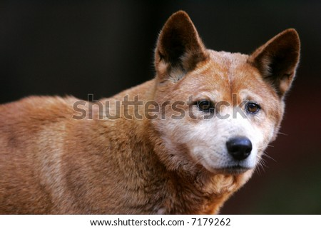Australian Dingo - stock photo
