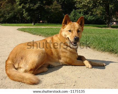 Australian Dingo in a park - stock photo