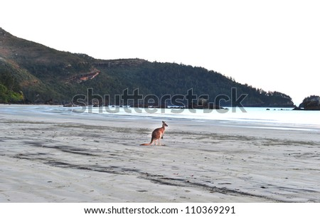 australian eastern grey kangaroo on beach, cape hillsborough, mackay , north queensland. exotic mammal kangaroo similar wallaby on tropical sandy foreshore with copyspace - stock photo