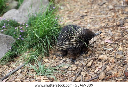 australian echidna in the bush looking for food