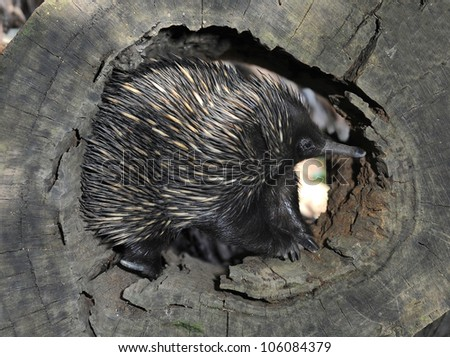 australian echidna or spiny anteater in tree log, queensland, australia, like hedgehog - stock photo