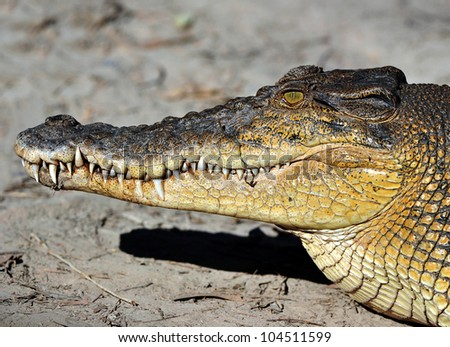 australian eustarine or saltwater crocodile commonly known as a salty , cooktown, north queensland, australia, close up full frame - stock photo