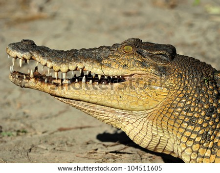 australian eustarine or saltwater crocodile with mouth open showing teeth , cooktown, north queensland, australia - stock photo
