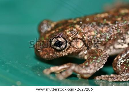 Australian Frog - stock photo