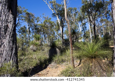 Australian Grass-trees (Xanthorrhoea preissii)  grow well in this scenic view of Crooked Brook national park South Western Australia in early spring  with rare wild flowers soon to start blooming. - stock photo