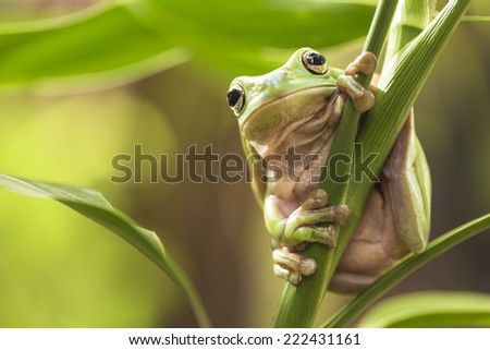 Australian Green Tree Frog on a leaf. - stock photo