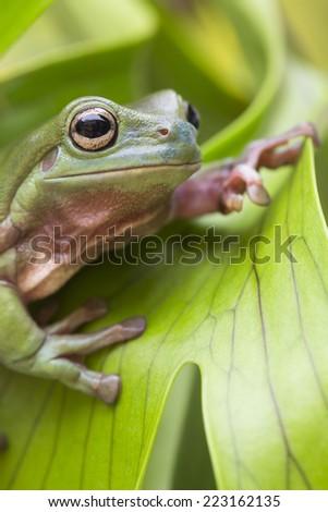 Australian Green Tree Frog on a leaf.  - stock photo