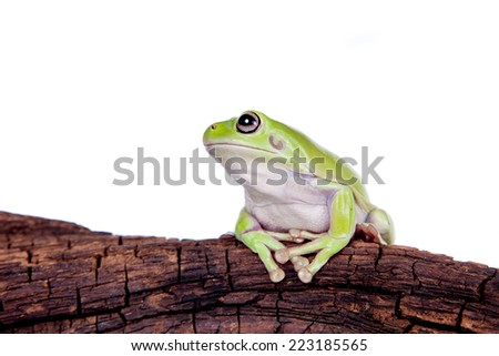 Australian Green Tree Frog on white background - stock photo