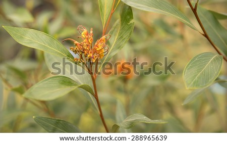 Australian Grevillea flower young inflorescence with hairy styles emerging from perianths and green foliage  - stock photo