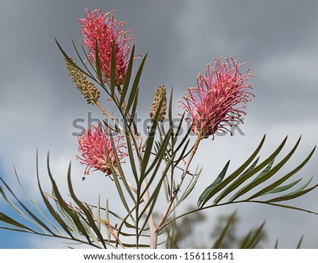 Australian grevillea pink flower flowerheads and buds against grey storm cloudy sky - stock photo