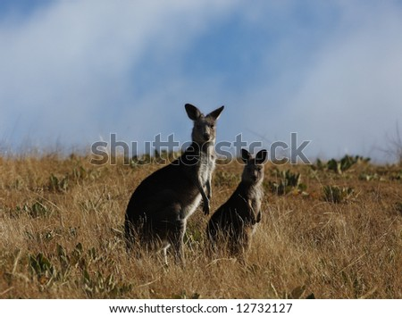 Australian Grey Kangaroo - stock photo