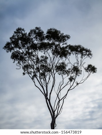 Australian gum tree (eucalyptus) silhouetted against a dramatic cloud-filled sky - stock photo