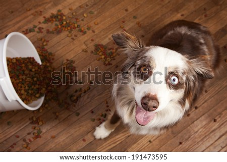 Australian husky next to a spilled tub of dog food. - stock photo