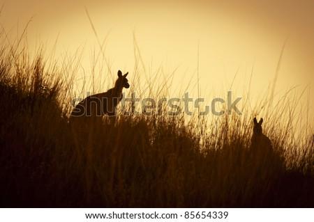 Australian Kangaroo's silhouetted at sunset in the wild - stock photo