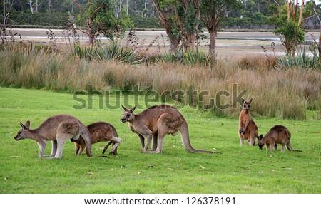 Australian kangaroos on grass - stock photo
