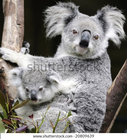 Australian Koala and six week old baby