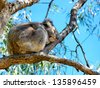 Australian koala Bear perched in a gum tree - stock photo