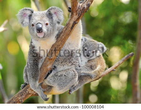 Australian Koala Bear with her baby in eucalyptus tree ,coffs harbor, Sydney, NSW, Australia grey bear
