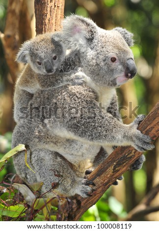Australian Koala Bear with her baby or joey in eucalyptus or gum tree , Sydney, new south wales, Australia grey bear - stock photo