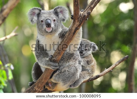 australian koala bear with her baby or joey in eucalyptus or gum tree, Sydney, NSW, australia. exotic iconic aussie mammal animal with infant in lush jungle rainforest - stock photo