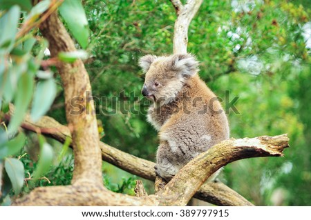 Australian koala bear with her baby or joey in eucalyptus or gum tree, Sydney, NSW, australia. exotic mammal animal with infant in lush jungle rainforest - stock photo