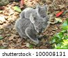 Australian Koala Bear with her baby, Sydney, Australia grey bear - stock photo