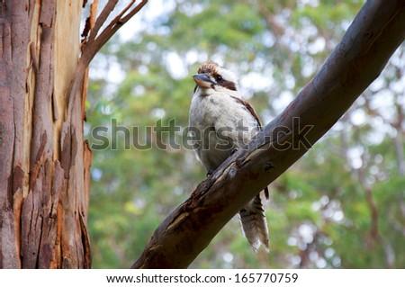 Australian Kookaburra in a Gum Tree - stock photo