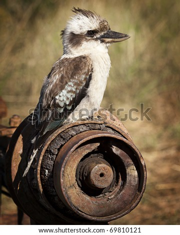 Australian Laughing Kookaburra sitting on rusty farm equipment - stock photo