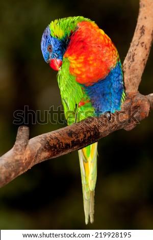 australian lorikeet unbelievable bright feathers.  - stock photo