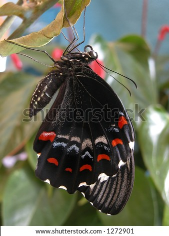 Australian Male Orchard Swallowtail Butterfly freshly hatched - stock photo