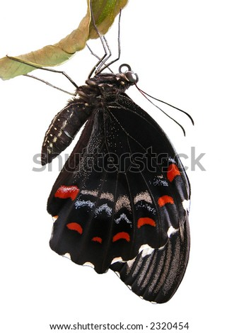 Australian Male Orchard Swallowtail Butterfly freshly hatched, isolated on white - stock photo
