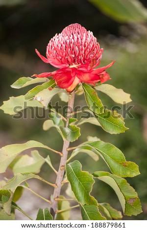 Australian native flower, the Waratah - stock photo