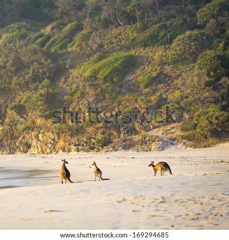 Australian native Kangaroo family gather on the beach at dawn on Stradbroke Island - stock photo