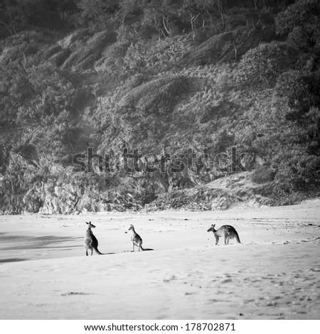 Australian native Kangaroo family gather on the beach at dawn on Stradbroke Island in black and white - stock photo