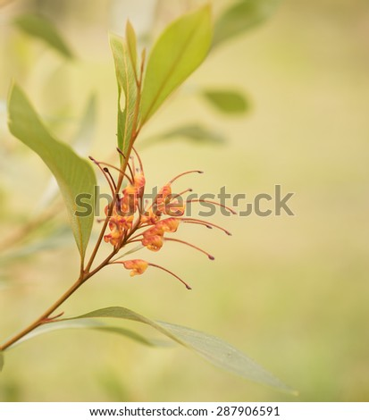 Australian native wildflower Grevillea orange marmalade spider flower with natural pastel colors - stock photo