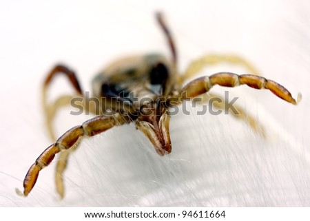 Australian paralysis tick, (Ixodes Holocyclus), with sharp focus on head - stock photo