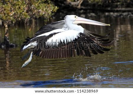 Australian Pelican takes flight, Pelecanus conspicillatus - stock photo