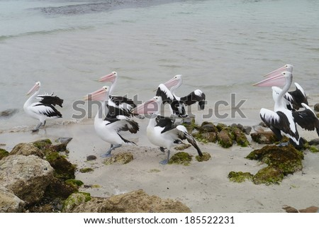 Australian Pelicans (pelecanus conspicillatus) with pink bills at the coast of kangaroo island in Australia