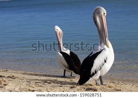 Australian pelicans standing proud - stock photo