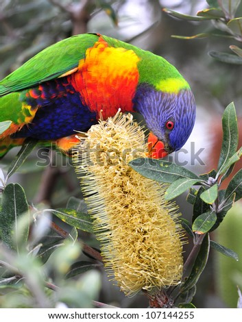 Australian rainbow lorikeet feeding on bottlebrush, byron bay, australia. colorful parrot exotic bird - stock photo