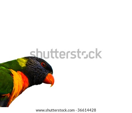 Australian Rainbow Lorikeet Head Isolated over White - stock photo