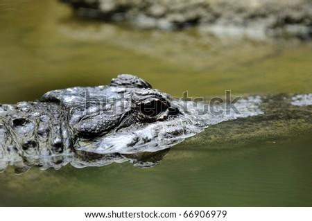 Australian Saltwater Crocodile - stock photo