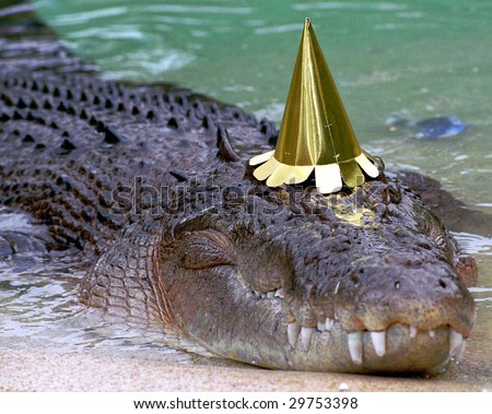 australian saltwater crocodile in captivity with birthday hat, queensland, australia. real untouched photo of exotic scary predator reptile salty eustarine croc - stock photo