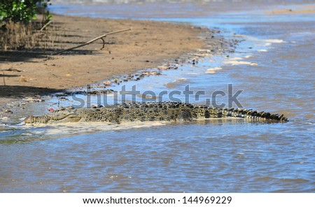 australian saltwater eustarine crocodile on endeavour river bank at ocean mouth, cooktown, far north queensland, australia - stock photo