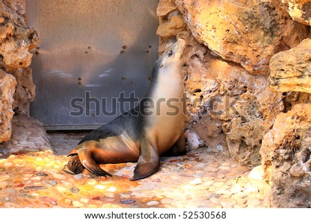 Australian Sea Lion basking in the Evening Light