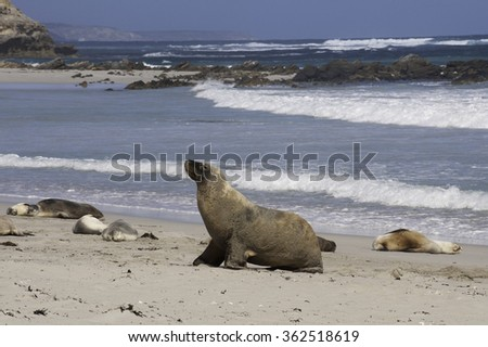 Australian Sea Lion (Neophoca cinerea) walks along the sandy beach between other sea lions.