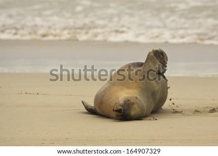 Australian Sea Lion,SA, Kangaroo Island,Australia - stock photo